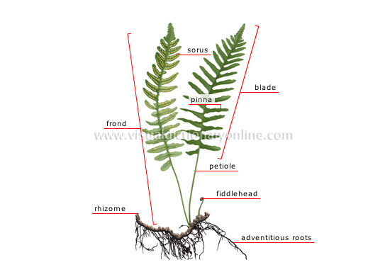 life cycle of fern